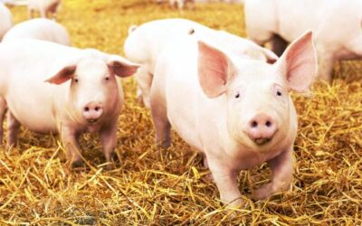 Pigs at slaughter: measures to address welfare concerns