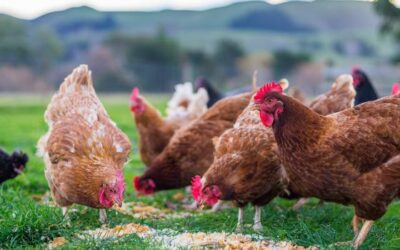 Avian influenza: EU on alert for new outbreaks