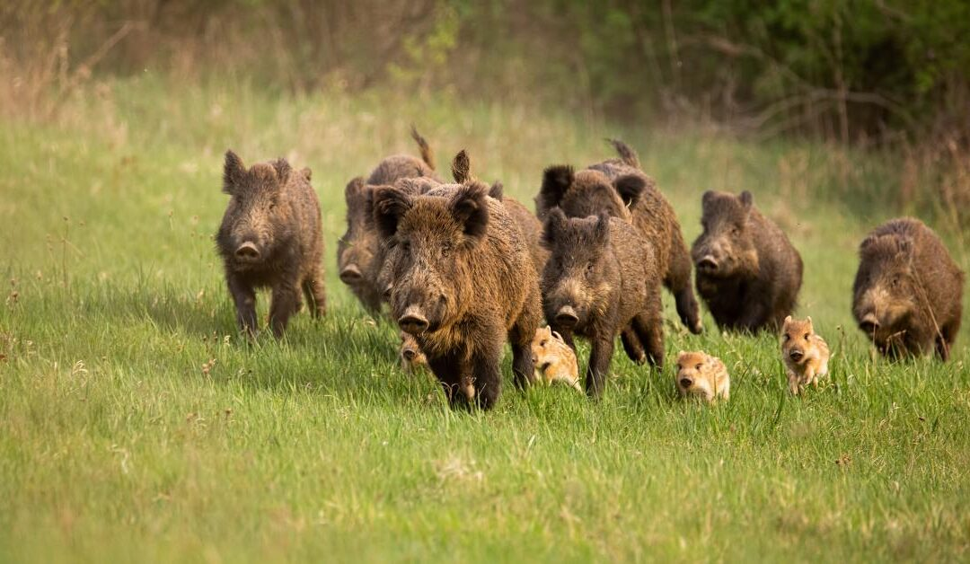 African swine fever: devising an 'exit strategy' for affected countries