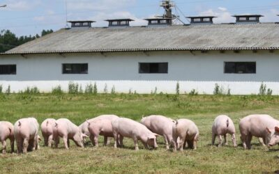 African swine fever: risks from outdoor pig farms